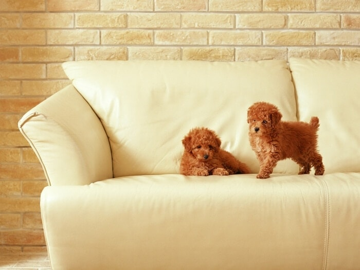 Puppies on Sofa
