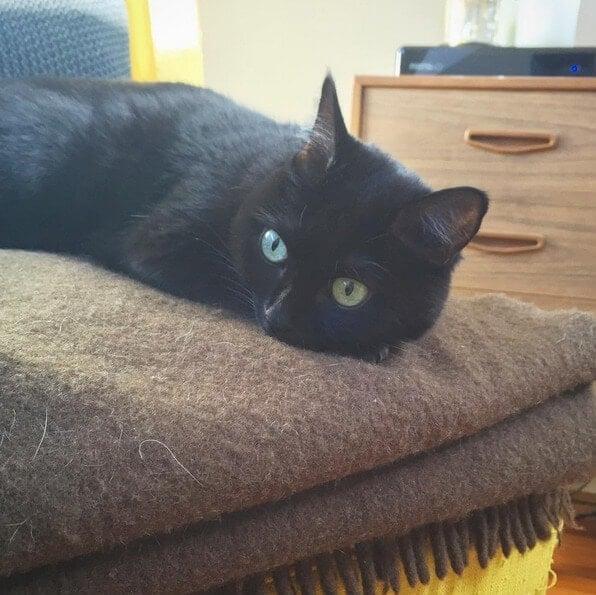 Mim - Black Domestic Shorthair cat on TLC Interiors