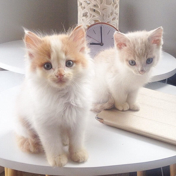 White and ginger domestic shorthair cats