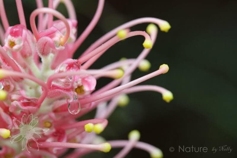 nature by nelly flower art australian natives grevillea the life creative