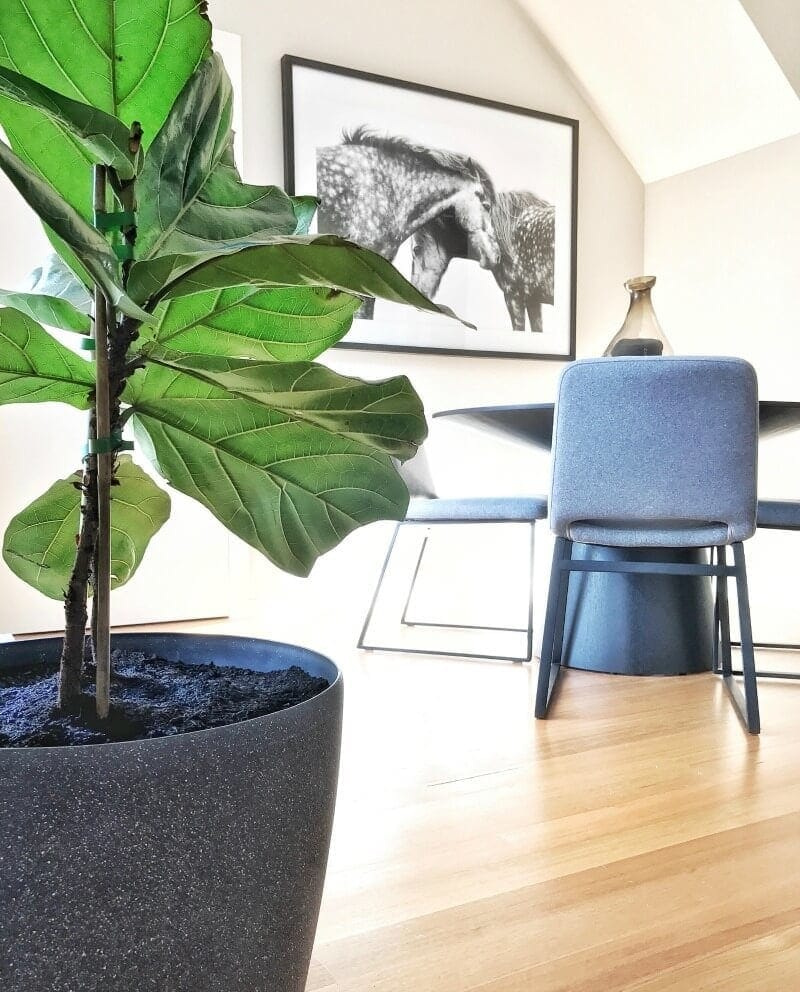 fiddle leaf fig in grey pit from bunnings in dining room with horse art from urban road