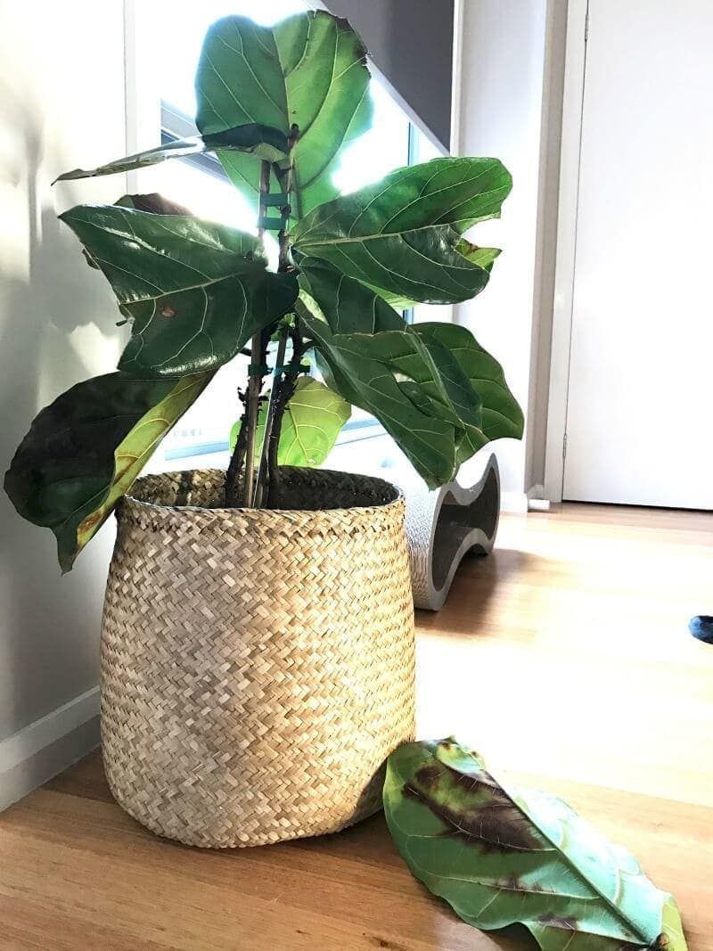 fiddle leaf fig in rattan belly basket with dying leaves on ground