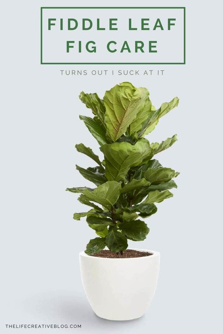 fiddle leaf fig in small white ceramic pot with lush greenery and soil