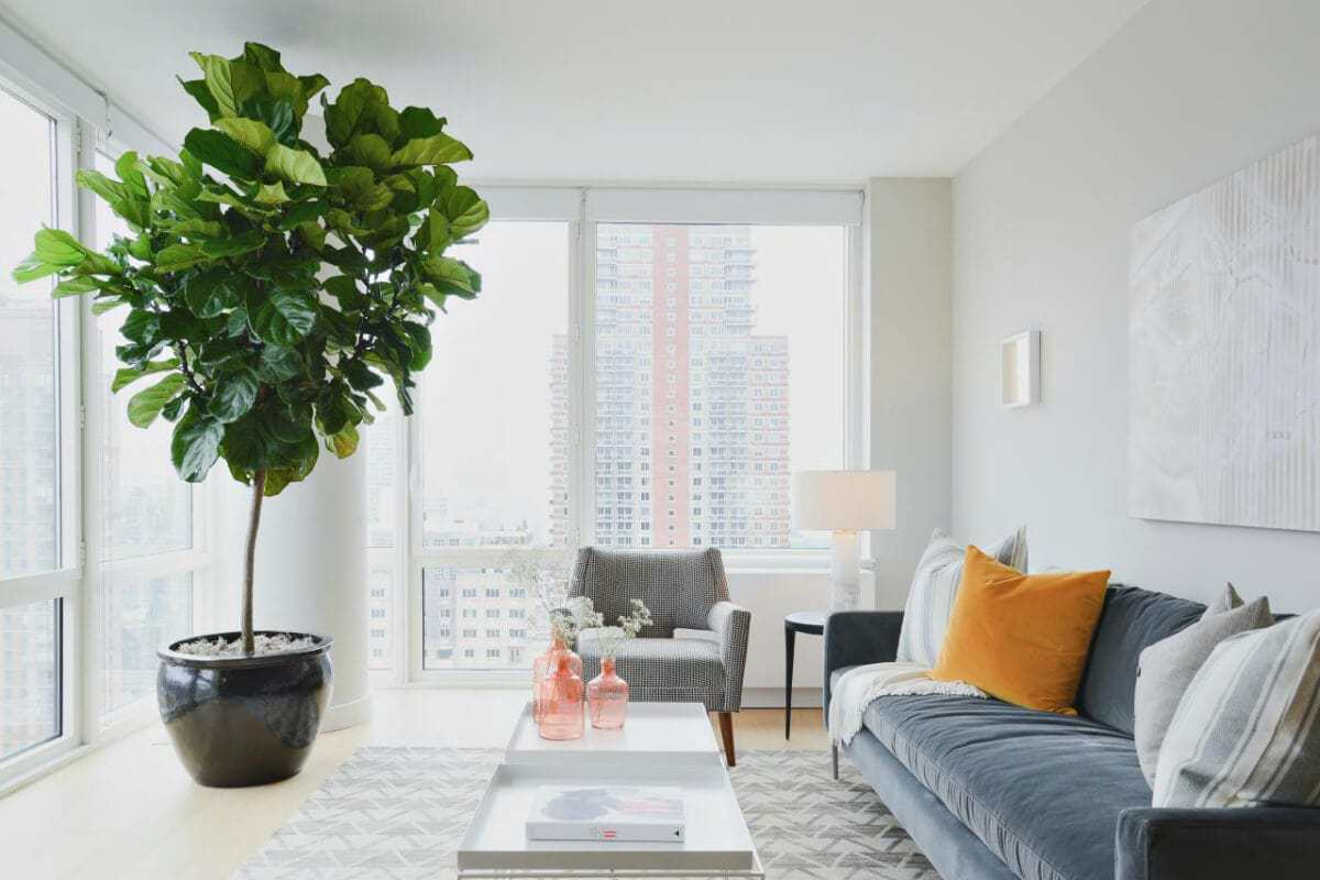 giant fiddle leaf fig in highrise apartment near window in black ceramic pot
