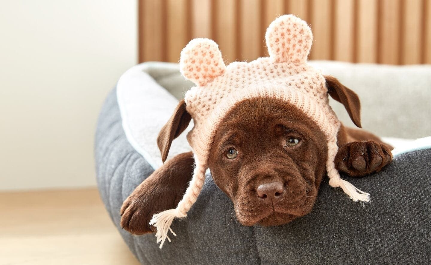 kmart pet accessories on brown chocolate labrador