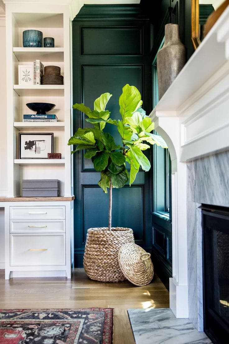 fiddle leaf fig in wicker pot in corner of room