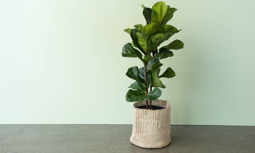 how to keep a fiddle leaf fig alive
