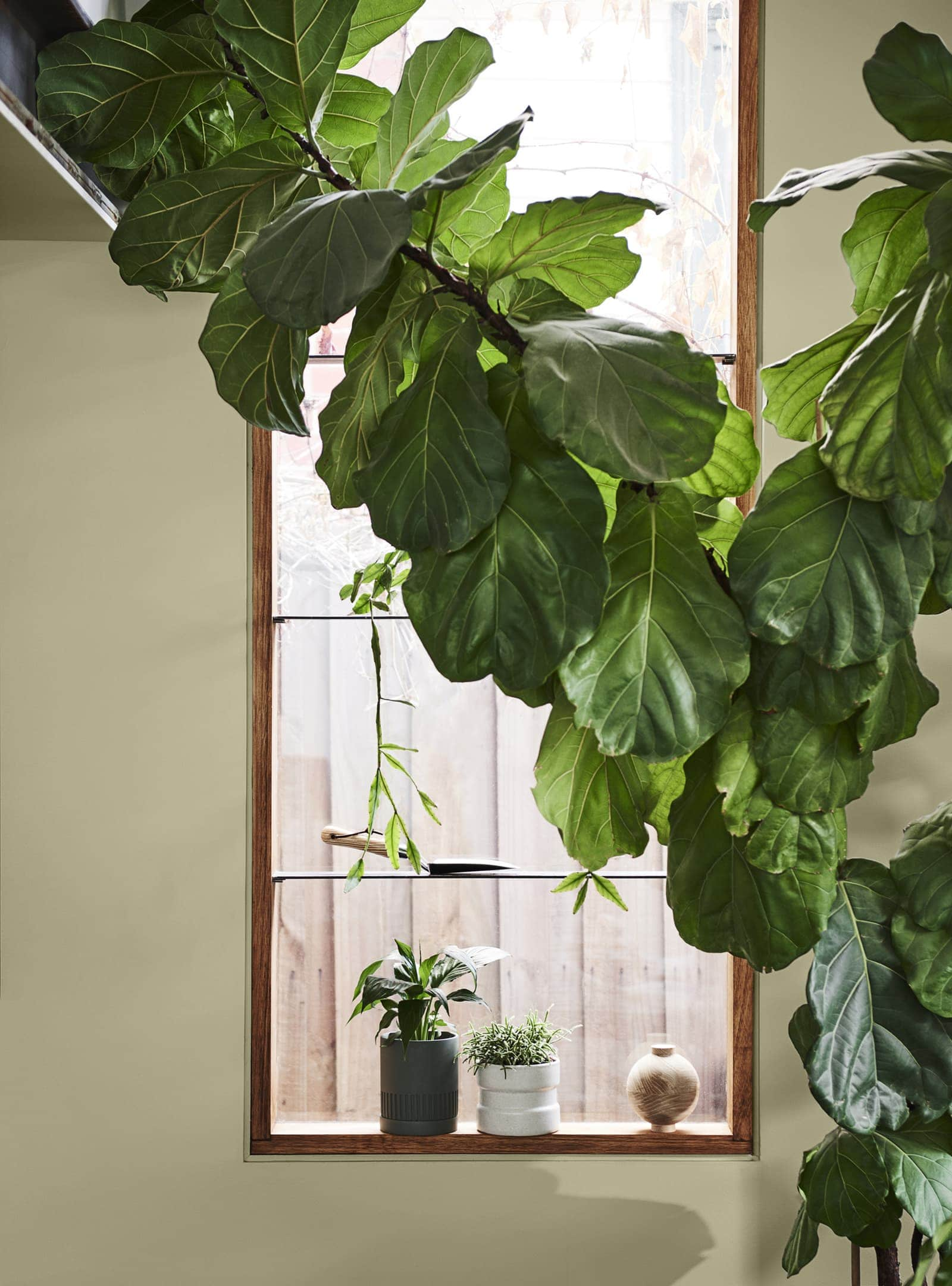 large fiddle leaf fig in green room painted with dulux green paint colours