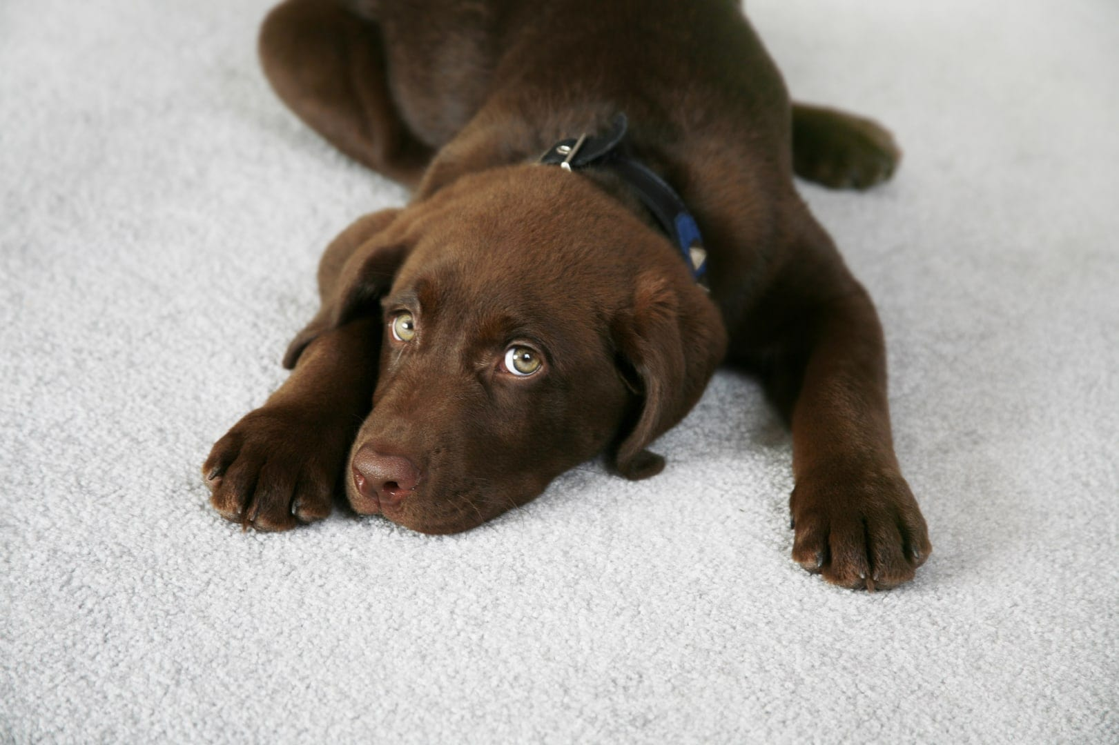 chocolate labrador puppy looking cute on light grey carpet