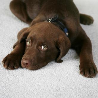 chocolate labrador puppy looking cute on light grey carpet